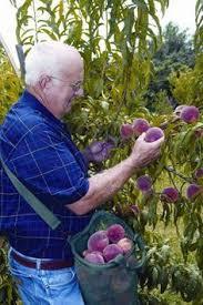 Fruit Garden Fruit Trees Wind Summer Apples Daylight Plum Tree Not Producing Fruit
