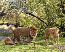 lion lioness cub by robert baranja