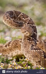 rattlesnake strike pose. Modren Rattlesnake Western Diamondback Rattlesnake In Aggressive Strike Pose And Rattlesnake Strike Pose A