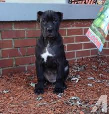 cute iccf cane corso puppy 11 weeks old