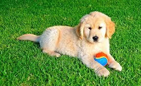 artificial grass for pets. Artificial Grass For Pets G