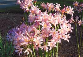 bulb flower types46