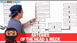 Circulatory System Arteries Of The Head Neck Flow Chart