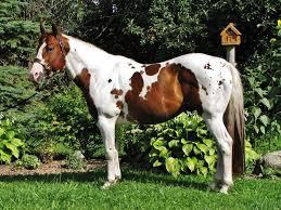 Image result for paint stallion