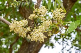 uses of the neem flower com uses of the neem flower