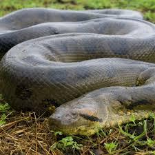 Green Anaconda National Geographic