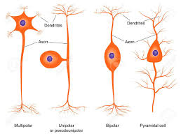 Basic Neuron Types Royalty Free Cliparts Vectors And Stock