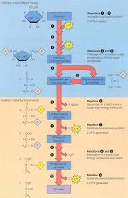 Detailed Steps Of Glycolysis Expii