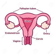 Female Anatomy Chart Hand Drawn Female Reproductive System Anatomy Chart Uterus And