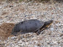blanding s turtle laying eggs