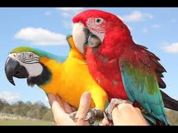 pet parrots free flying