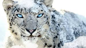 Snow Leopard Wallpaper-b75drue - Mac ...