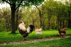 The 6 Silliest Arguments Against Backyard ChickensMy Pet Chicken BlogBackyard Chicken Blog