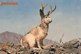 thought to be a myth by many the jackalope is alleged to actually exists in