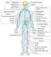 Flow Chart Of Nervous System In Human Beings Peripheral Nervous System Wikipedia