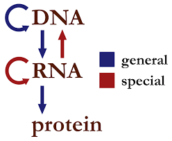 · rna is chemically similar to dna, except that it contains information for the primary structure of proteins, the linear order of the 20 possible amino acids. Central Dogma Of Molecular Biology Wikipedia