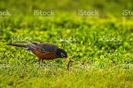 Image result for American robin stock photo