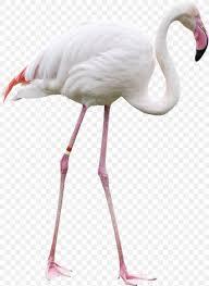 Bird Beak Chart Bird Greater Flamingo Clip Art Png 1169x1600px Bird Beak