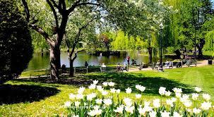 tulips blooming in boston s public garden in late april
