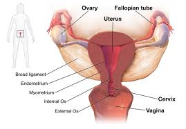 Womens Anatomy Chart The Female Reproductive System Boundless Anatomy And