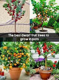 dwarf fruit trees to grow in pots