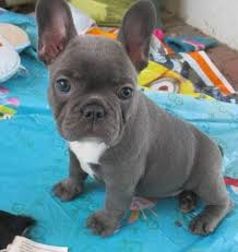adora french bulldog puppies this puppies are well tamed and trained good with kids and other