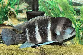 Tanganyika Cichlids Facts Tropheus Frontosa Gobys