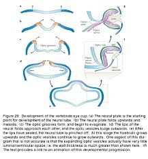 development of the vertebrate eye cup a the neural plate is the starting point for development of the neural b the neural plate folds upwards and