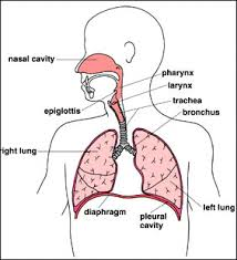 99801 brenden's respiratory system web quest on the human respiratory system worksheet