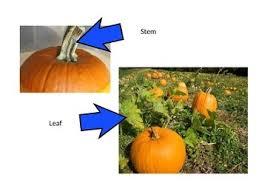 Parts Of A Pumpkin Powerpoint By Kooky In Kindergarten Tpt