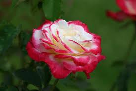 Buy Damascus Scented Rose  Plant Online  Buy 6000 Nursery Fragrant Rose Plants
