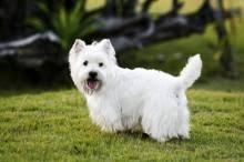 silky dog white. little white dog syndrome silky r