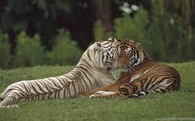 white tiger wallpaper free download. Contemporary Download To White Tiger Wallpaper Free Download E