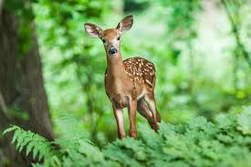 Image result for pictures of deer