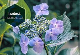 Types Of Hydrangeas A Visual Guide Ftd Com