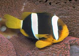 Clown Fish Identification Chart Clarkii Clownfish Amphiprion Clarkii Clarks Anemonefish