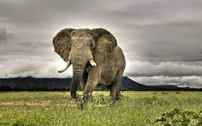 47+] Animals Elephant Wallpaper Free ...