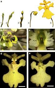 fl organs of erycina pusilla