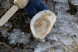 Oyster Identification Chart Maine Seafood Guide Oysters Maine Sea Grant University