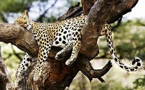 sleeping cheetah wallpapers hd wallpapers 1920x1200