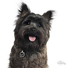 cairn terrier. Delighful Terrier Picture Of Cairn Terrier Dog Tag In E