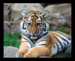 Image result for tiger photos