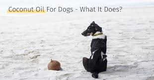coconut oil for dogs what it does