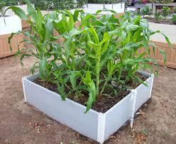 raisedbed corn