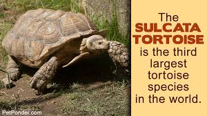 All You Need To Know About The Diet Of A Sulcata Tortoise