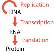 There are exceptions to this theory. Biology Chapter 8 From Dna To Proteins Flashcards Quizlet