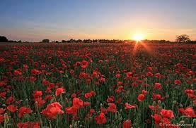 <b>Poppy field</b>, the Netherlands Klaproos / papaver veld, Nederland ...