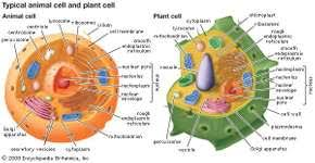 animal cell endoplasmic reticulum. Fine Reticulum Eukaryotic Cells Contain Membranebound Organelles Including A Clearly  Defined Nucleus Mitochondria In Animal Cell Endoplasmic Reticulum