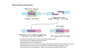 Restriction Enzyme Restriction Enzymes Youtube