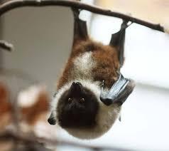 Are Bats Blinded By Light A Beautiful Bat The Oriis Fruit Bat Pteropus Dasymallus
